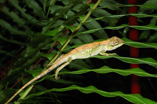 另一隻在睡覺中的棕背型黃口雌蜥