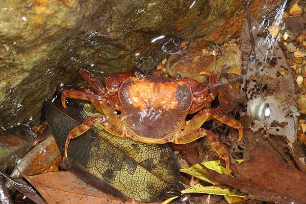 奇怪的拉氏清溪蟹