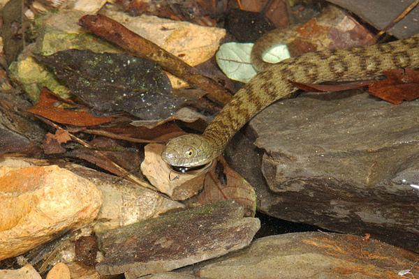 白腹游蛇(Sinonatrix percarinata suriki)