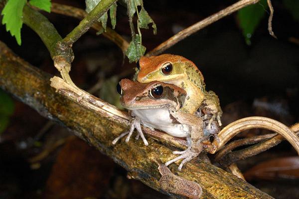 另一對抱接中的拉都希氏赤蛙