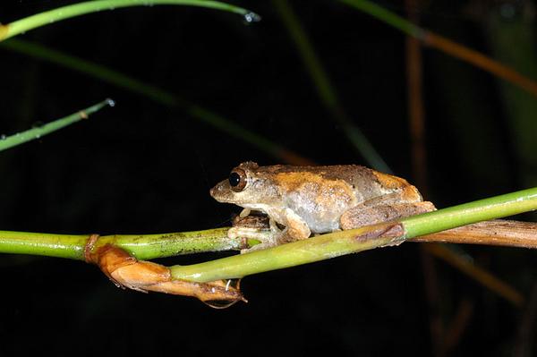 面天樹蛙(Kurixalus idiootocus)