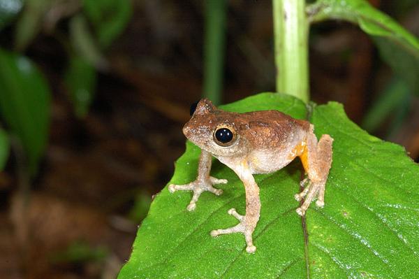 姿勢帥氣的面天樹蛙