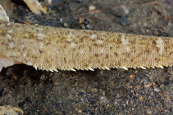 尾巴扁平且邊緣呈鋸齒狀