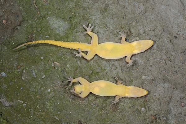 兩隻史丹吉氏蝎虎的比較
