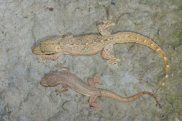 史丹吉氏蝎虎和疣尾蝎虎的比較