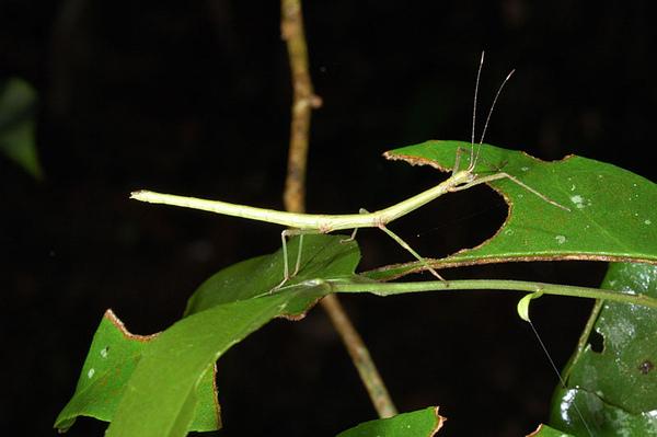 不知名竹節蟲的若蟲