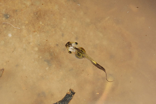 黑蒙西氏小雨蛙(Microhyla heymonsi)的蝌蚪