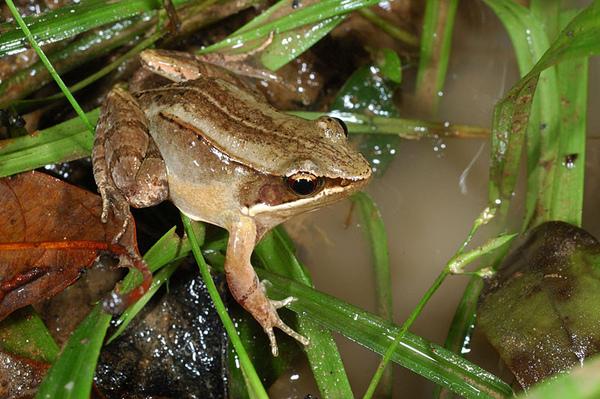 在台灣應該是數量最少的蛙類