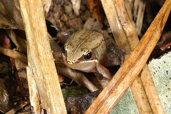 相當可愛的琉球赤蛙