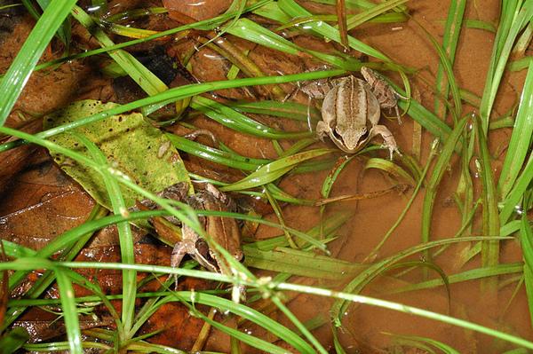 兩隻琉球赤蛙和環境