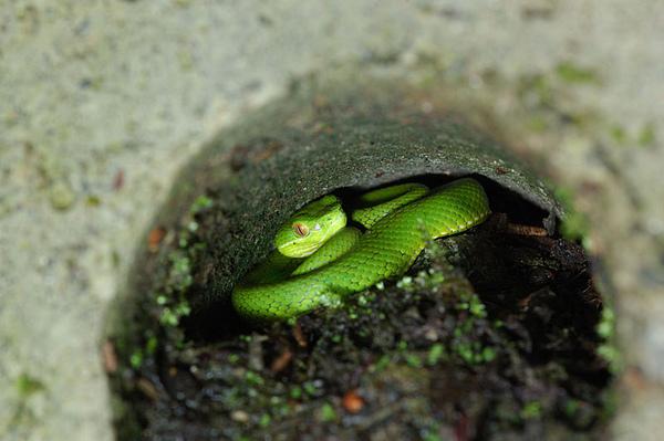躲在水管洞裡的赤尾青竹絲(Trimeresurus stejnegeri stejnegeri)