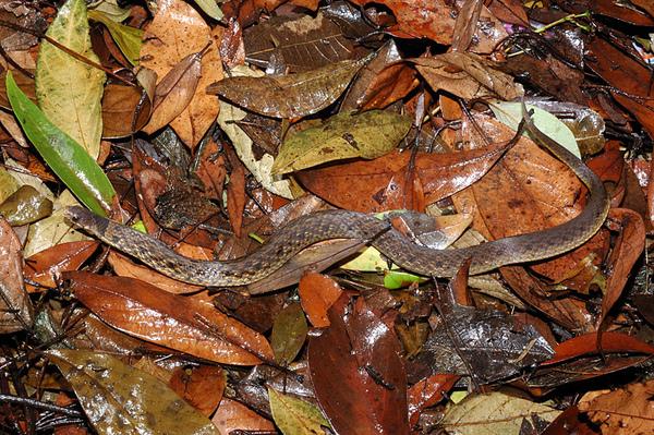 福建頸斑蛇(Phagiopholis styani)