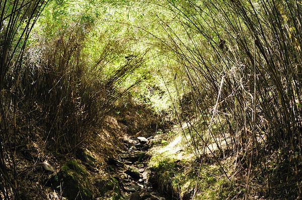來到了一處幽暗的箭竹林下...