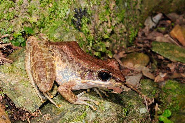 斯文豪氏赤蛙(Rana swinhoana)