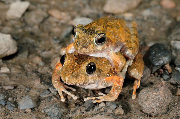 抱接中的日本樹蛙(Buergeria japonica)