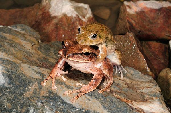 澤蛙錯抱布氏樹蛙(Polypedates braueri)
