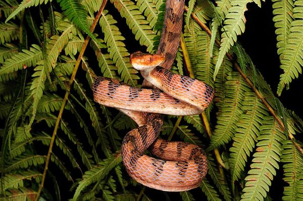 褐色型大頭蛇(Boiga kraepelini)