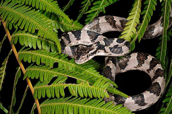 灰色型大頭蛇