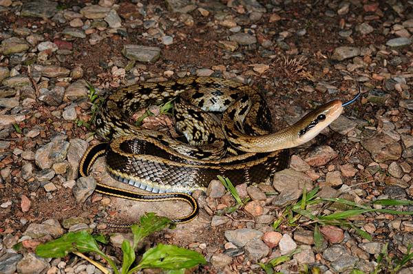 錦蛇(Elaphe taeniura friesi)