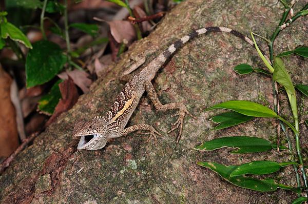 斯文豪氏攀蜥(Japalura swinhonis)
