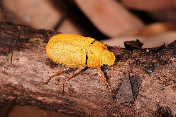 某種漂亮的黃色金龜子