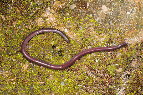盲蛇(Ramphotyphlops braminus)
