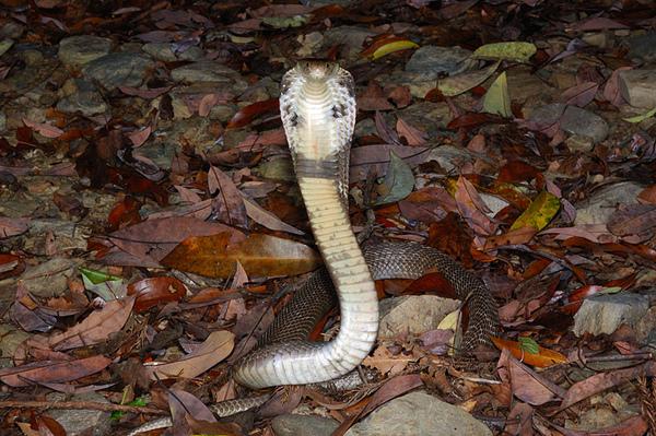 可憐的眼鏡蛇