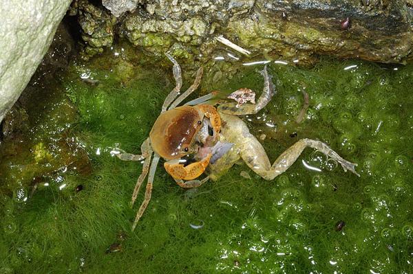 雙色澤蟹捕食日本樹蛙