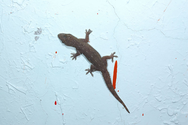 疣尾蝎虎(Hemidactylus frenatus)