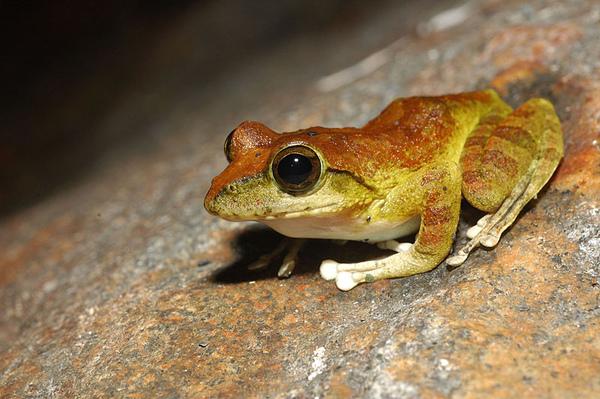 今晚的主要目標仍然是褐樹蛙...