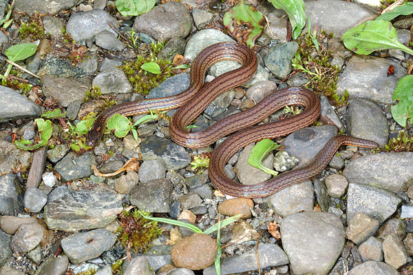 鐵線蛇(Calamaria pavimentata)