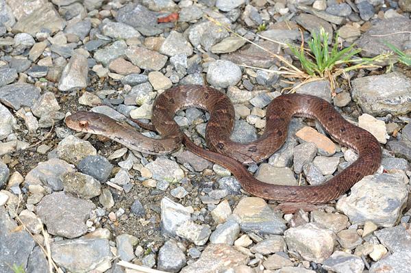 史丹吉氏斜鱗蛇(Pseudoxenodon stejnegeri stejnegeri)