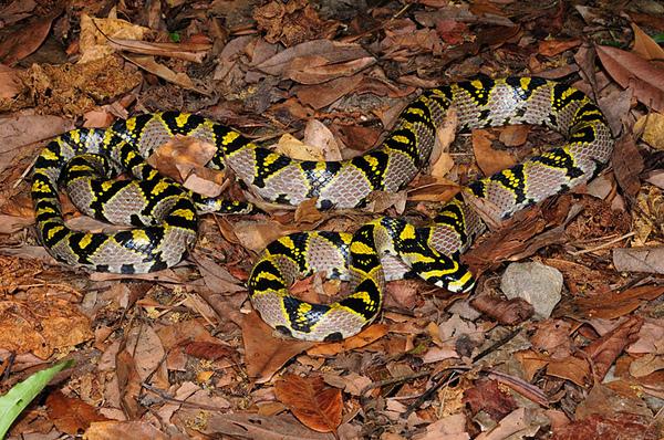 高砂蛇(Euprepiophis mandarina)