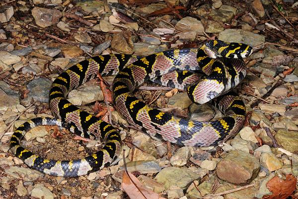 當晚第二條高砂蛇~!!