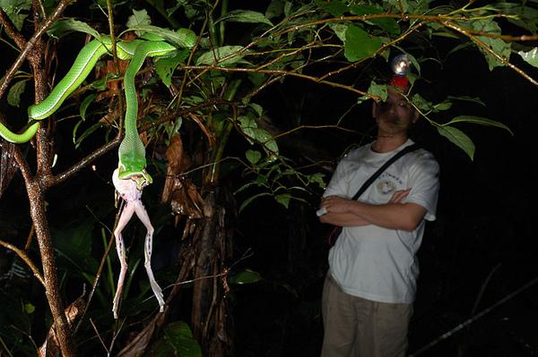 赤尾青竹絲捕食翡翠樹蛙(Rhacophorus smaragdinus)