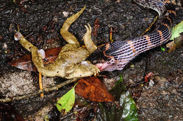 紅斑蛇吃盤古蟾蜍