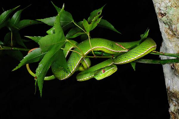 在樹上的赤尾青竹絲