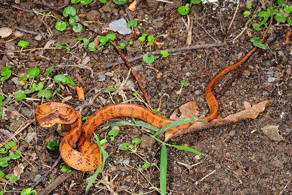 台灣鈍頭蛇