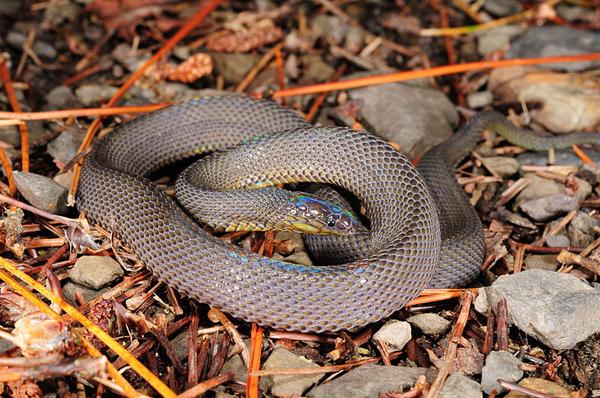 葉大哥在附近翻到的標蛇(Achalinus niger)