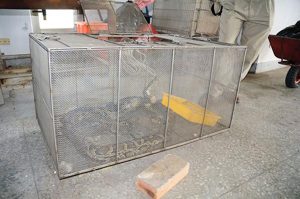 被抓到約兩個月的緬甸蟒(Python molurus bivittatus)