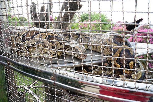 這條緬甸蟒就是上個月吃掉小羊上新聞的主角...