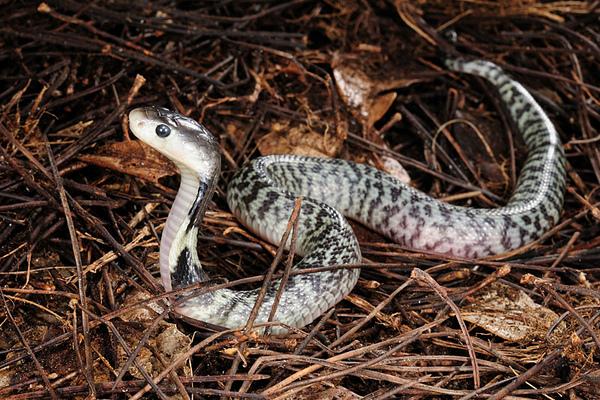 奇特花紋的眼鏡蛇(Naja atra)