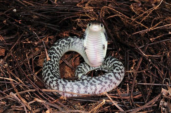 好可愛的雪花眼鏡蛇~