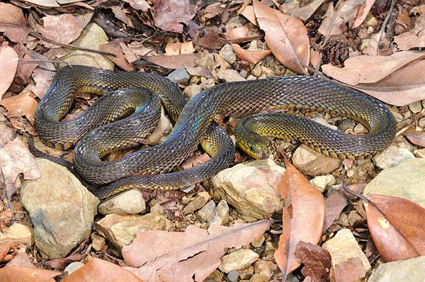 台灣標蛇(Achalinus formosanus formosanus)
