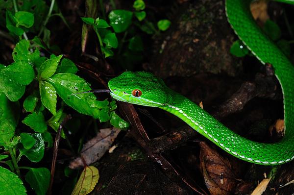綠色的老朋友:赤尾青竹絲(Viridovipera stejnegeri stejnegeri)