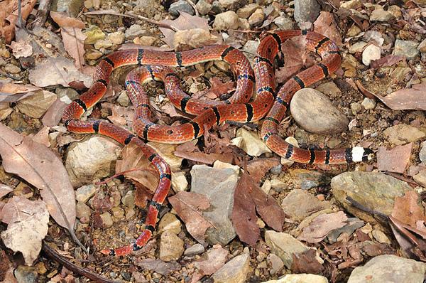 環紋赤蛇(Sinomicrurus macclellandi swinhoei)