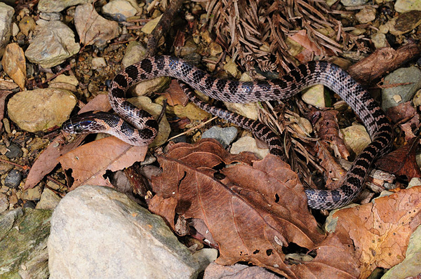 紅色老朋友:紅斑蛇(Dinodon rufozonatum)