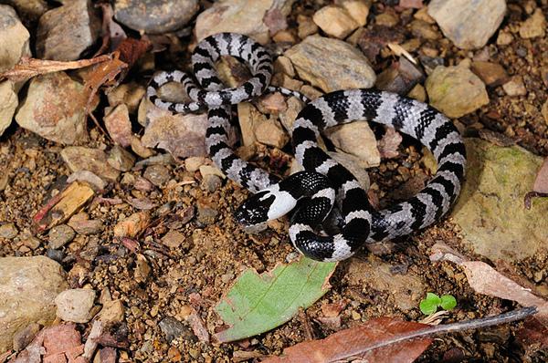 白梅花蛇(Lycodon ruhstrati ruhstrati)幼蛇