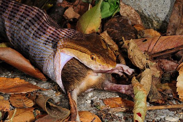 龜殼花吃刺鼠