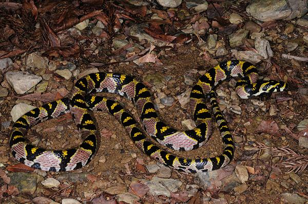 美麗又稀有的高砂蛇